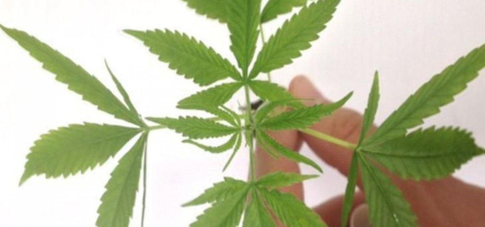 [Justiça dá aval para plantação de maconha para uso medicinal]