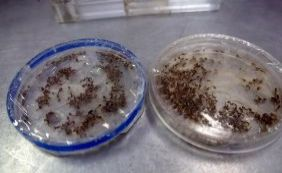 [Governo pretende ampliar projeto de mosquitos transgênicos na Bahia]