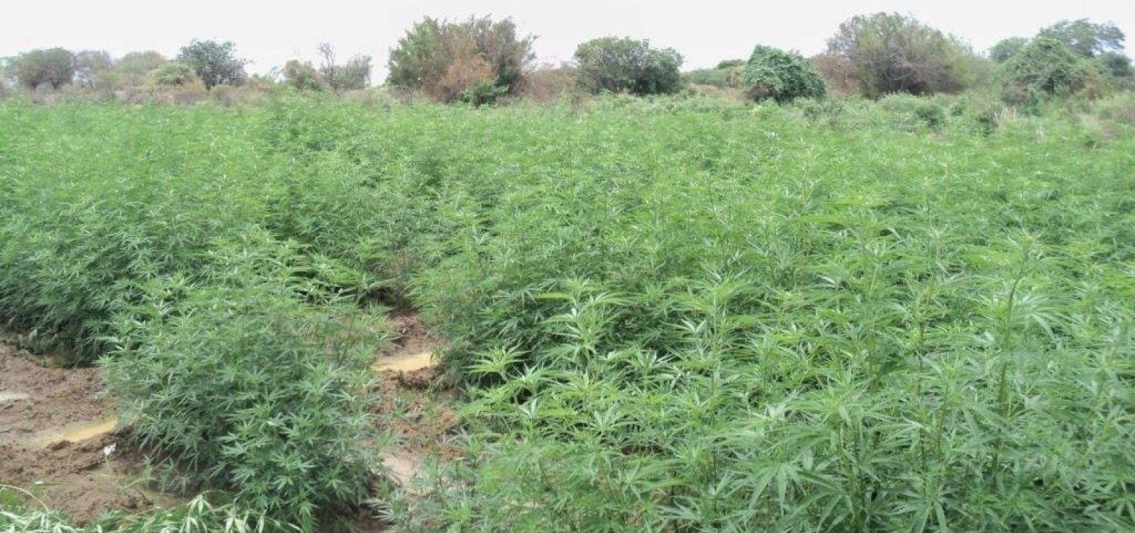 [Plantação com 30 mil pés de maconha é erradicada no interior da Bahia]