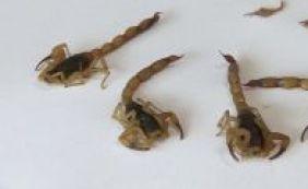 [Boca da Mata e Pirajá lideram índices de infestação de escorpiões em Salvador]