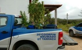 [Polícia destrói mais uma plantação de maconha em combate ao tráfico]
