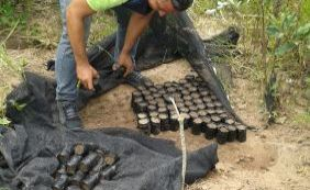 [Mais de mil pés de maconha são destruídos pela polícia em Ibicoara]