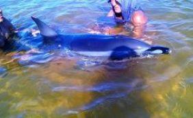 [Golfinho é resgatado por equipe de Unidade Regional do Inema]