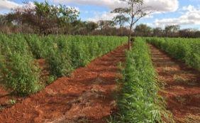 [Avaliada em R$ 5 milhões, plantação com 10 toneladas de maconha é encontrada]