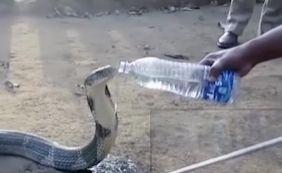 [Cobra venenosa bebe água oferecida por guarda florestal; assista]