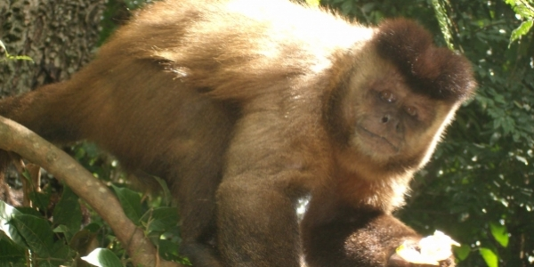[Mais um macaco é encontrado morto em Salvador; animal estava em Ondina]