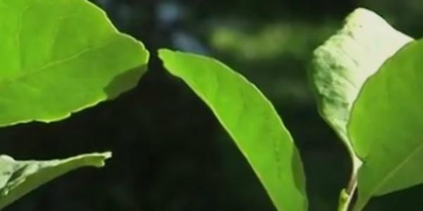 [Uruguai começa a vender erva-mate brasileira com cannabis]