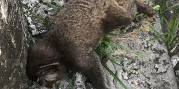 [Mais um macaco é encontrado morto em Salvador; número passa de 50]