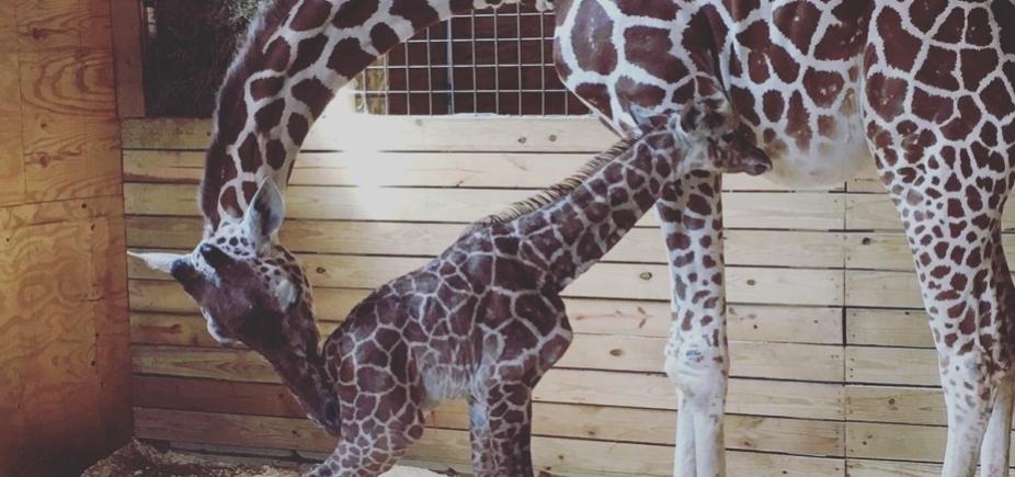 [Girafa dá à luz com mais de 1 milhão de pessoas assistindo ao vivo pelo YouTube]