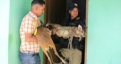 Operação do MP resgata dois filhotes de veados criados ilegalmente em cativeiro no interior