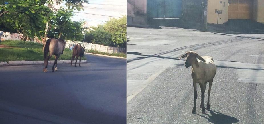 [Fazendinha: cabrito e cavalos aproveitam liberdade em Pernambués e Stella Maris ]