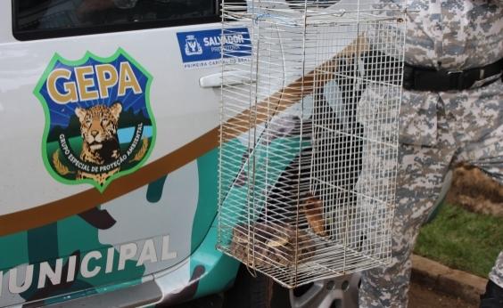 Guarda Municipal já resgatou 70 cobras em Salvador nesta ano