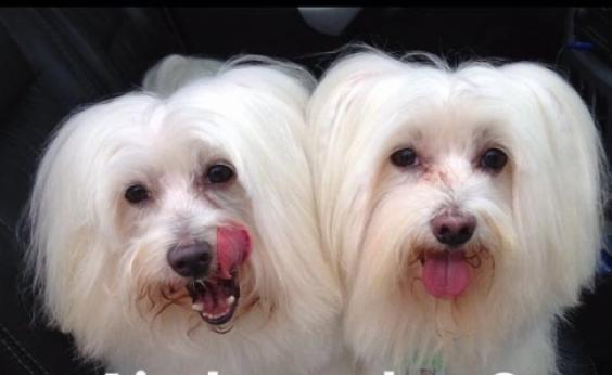 Após roubo, cães Malteses são encontrados em bolsa no Engenho Velho da Federação