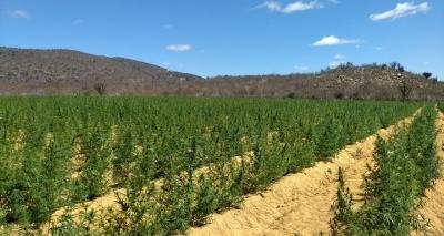Avaliada em R$ 1 milhão, plantação de mais de 90 mil pés de maconha é destruída em Jacobina