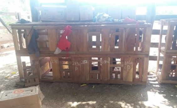 Homem é preso por envolvimento em rinhas de galo em Serrinha