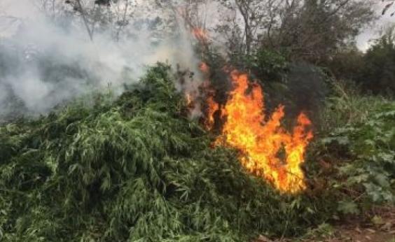 Plantação com 35 mil pés de maconha é destruída pela PM em Abaré