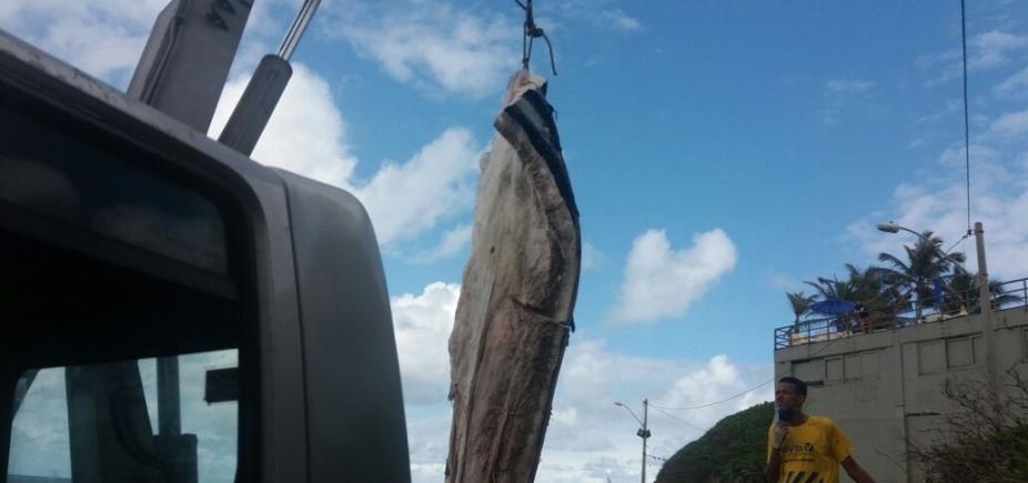 [Baleia encalhada em Ondina começa a ser removida pela Limpurb; ação deve ser concluída em até 5 dias]