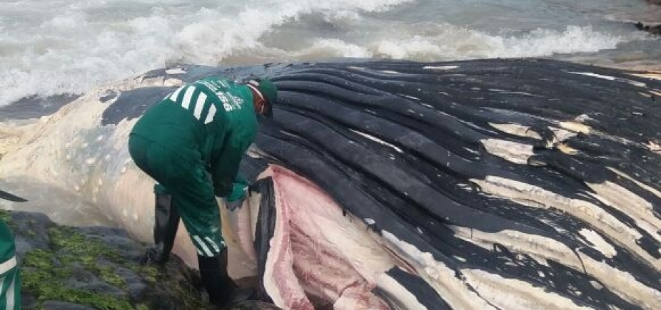 [Carcaça de baleia encontrada morta em Ondina ainda não foi totalmente removida; mar agitado dificulta ação]