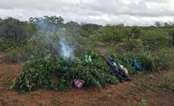 Denúncia anônima leva à apreensão de mais de mil pés de maconha na Bahia