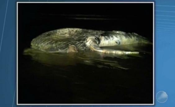Baleia jubarte de 5 metros é encontrada morta em praia do Prado, sul da Bahia