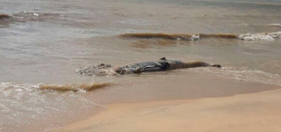 [Mais um! Filhote de baleia jubarte é encontrado morto em praia do sul da Bahia]