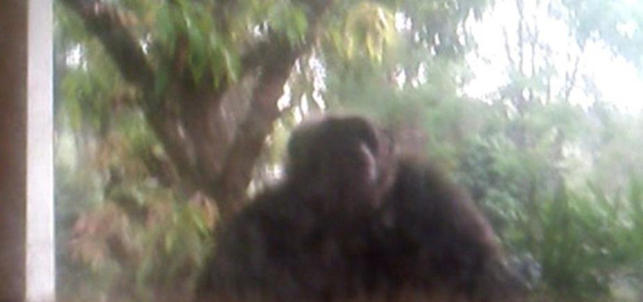 [Chimpanzé arromba porta de casa e assusta moradores após fugir de santuário]
