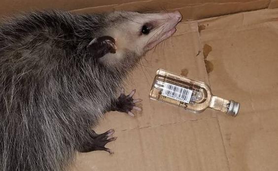 Após invadir loja de bebidas, gambá fica bêbado e é levado para centro de resgate animal