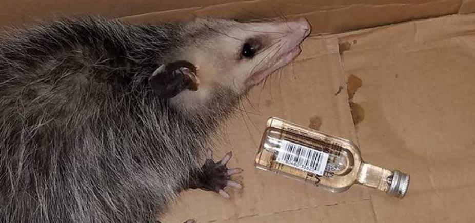 [Após invadir loja de bebidas, gambá fica bêbado e é levado para centro de resgate animal]
