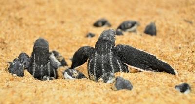 Tartarugas marinhas voltam a desovar em praia de Salvador após 30 anos