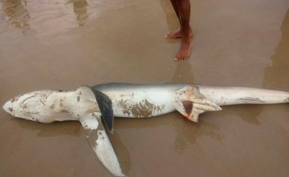 Tubarão é encontrado morto em praia de Ilhéus