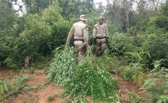 Xique-Xique: PM destrói plantação de maconha que tinha até sistema de irrigação