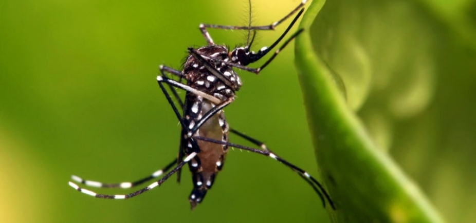 [UFMG desenvolve primeira vacina contra Aedes aegypti, dizem pesquisadores]