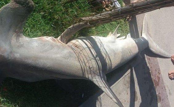 [Mergulhadores capturam e matam tubarão-martelo na praia de Armação]