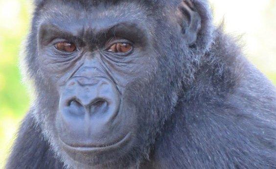 [Zoológico descobre que gorila de 7 anos é, na verdade, fêmea]