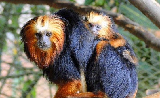 [Espécie de macaco em extinção é resgatada no sul da Bahia]