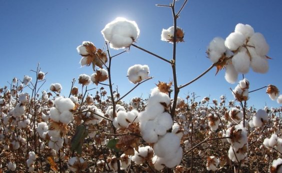 [Mais de 75% do algodão produzido na Bahia é certificado como sustentável]