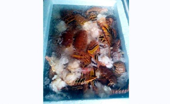 [Quase quatro toneladas de lagosta são apreendidas em Alcobaça]
