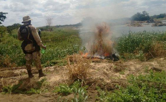 [Policiais encontram plantações de maconha no interior do estado]