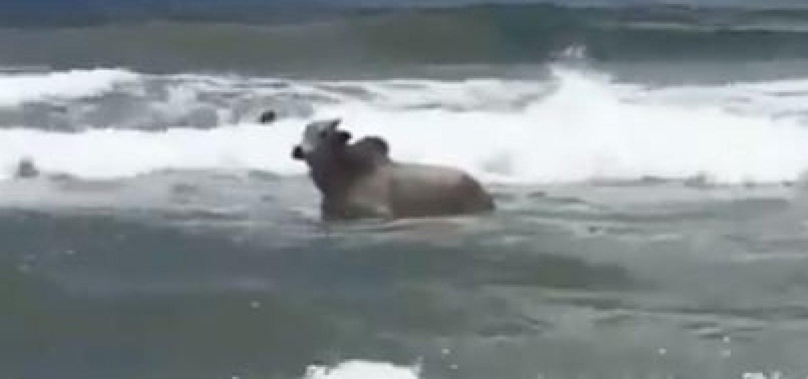 [Boi é flagrado 'pegando onda' ao lado de surfistas em Salvador; veja vídeo]