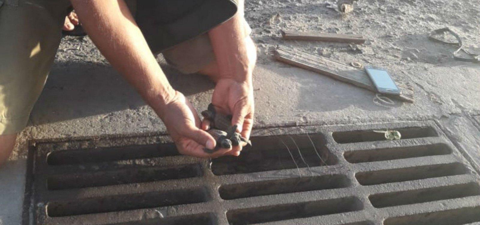 [Filhotes de tartaruga-cabeçuda são resgatados de bueiro no sul da Bahia]