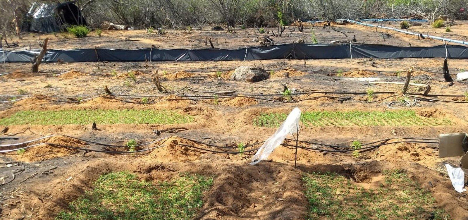 [Polícia Militar encontra plantação com mais de 50 mil pés de maconha na Bahia]