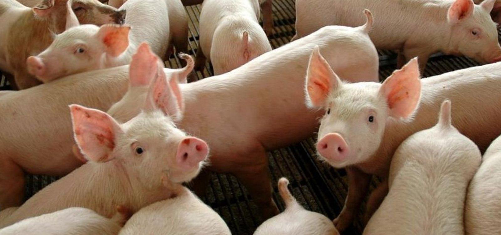 [China autoriza importação de gordura de porco do Brasil]