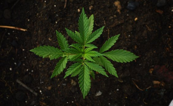 [Anvisa aprova proposta que pode liberar o cultivo de maconha medicinal para indústria e ciência]
