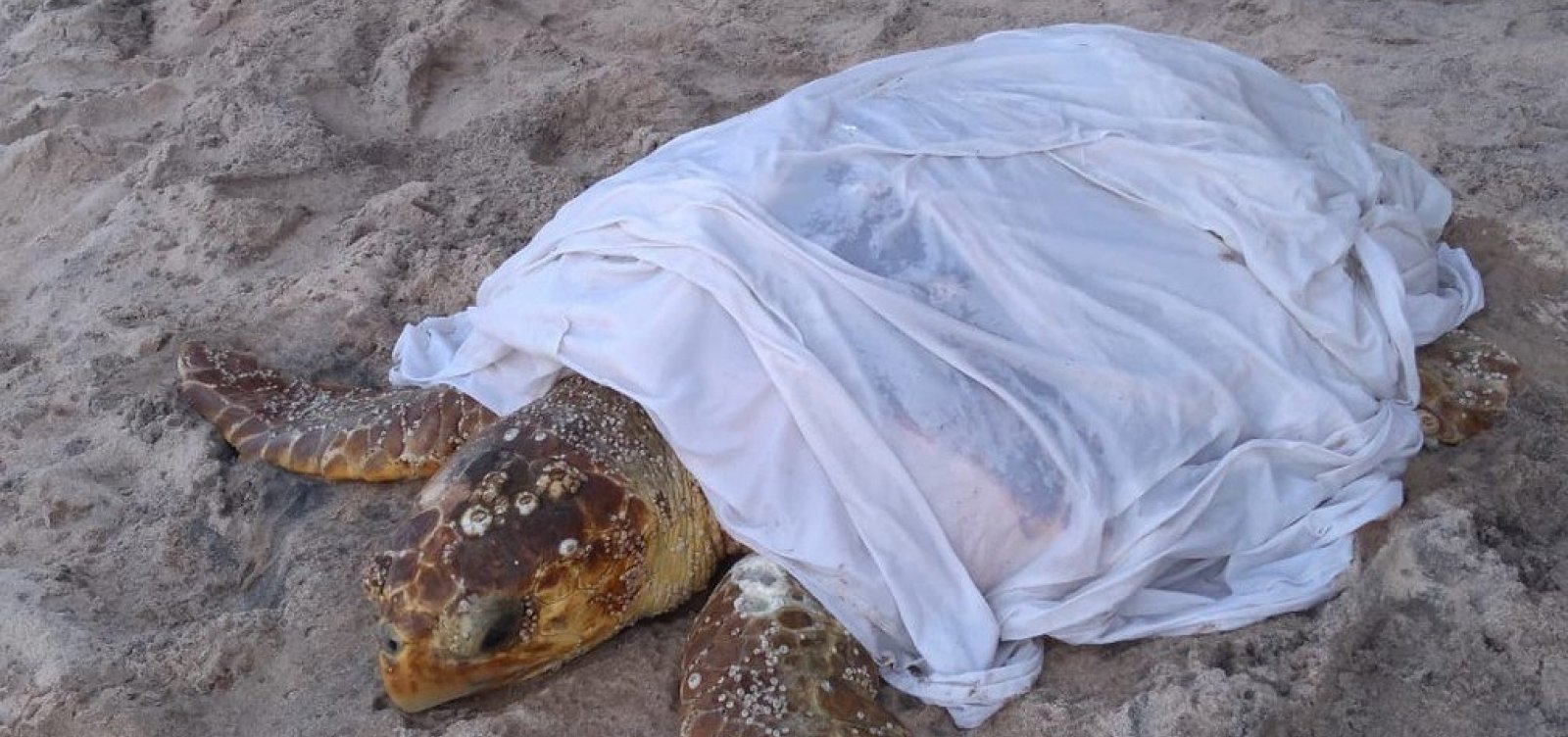 [Tartaruga se prende em pedra na praia de Ondina e é resgatada por banhistas]