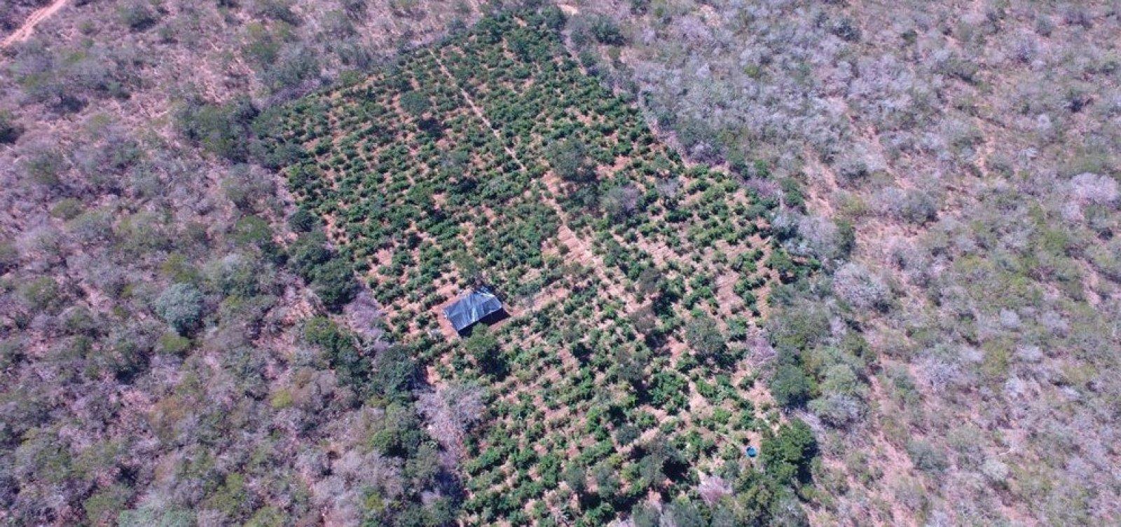 [Polícia encontra cerca de 40 mil pés de maconha em plantação no norte da Bahia]