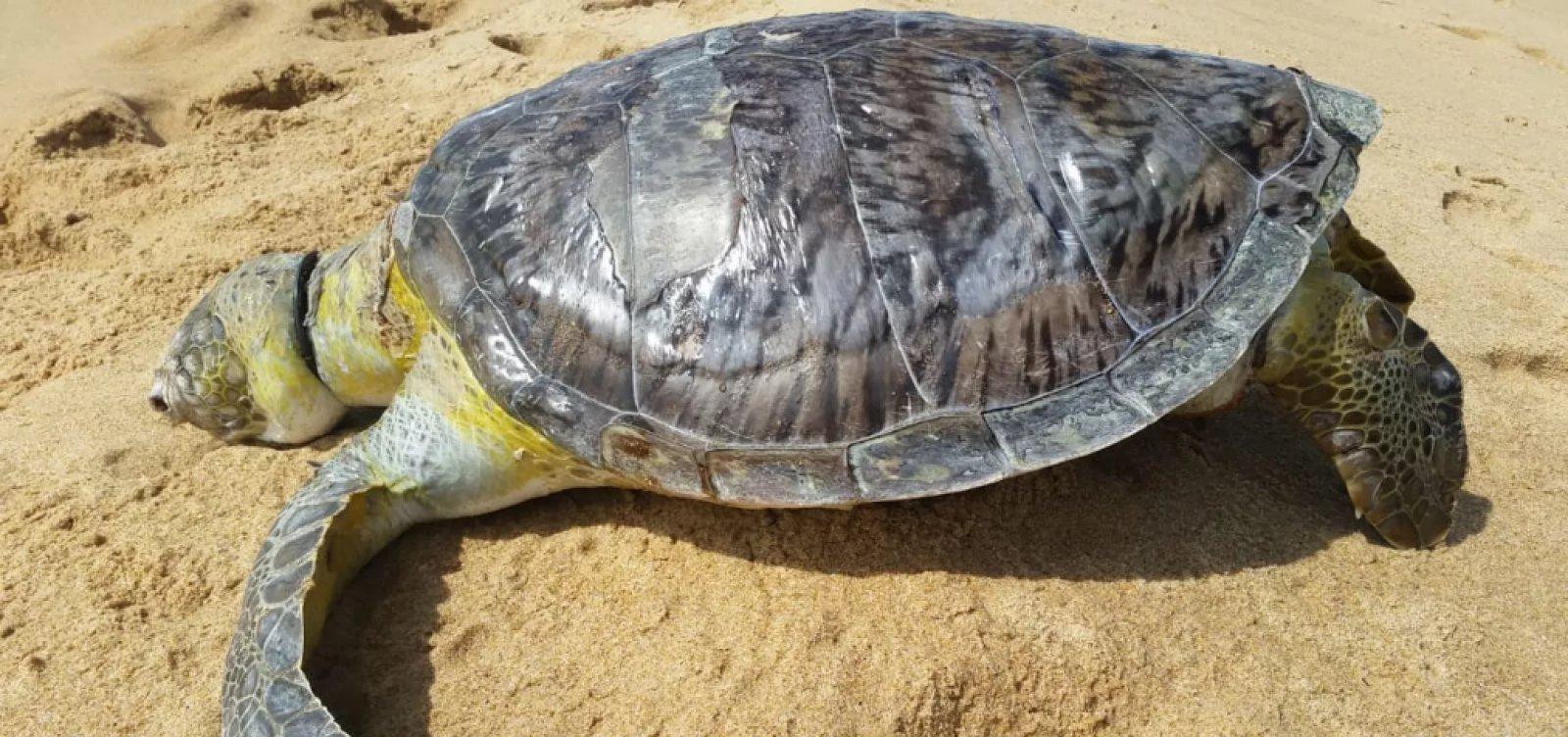 [Três tartarugas marinhas são encontradas mortas em praias do sul do estado]