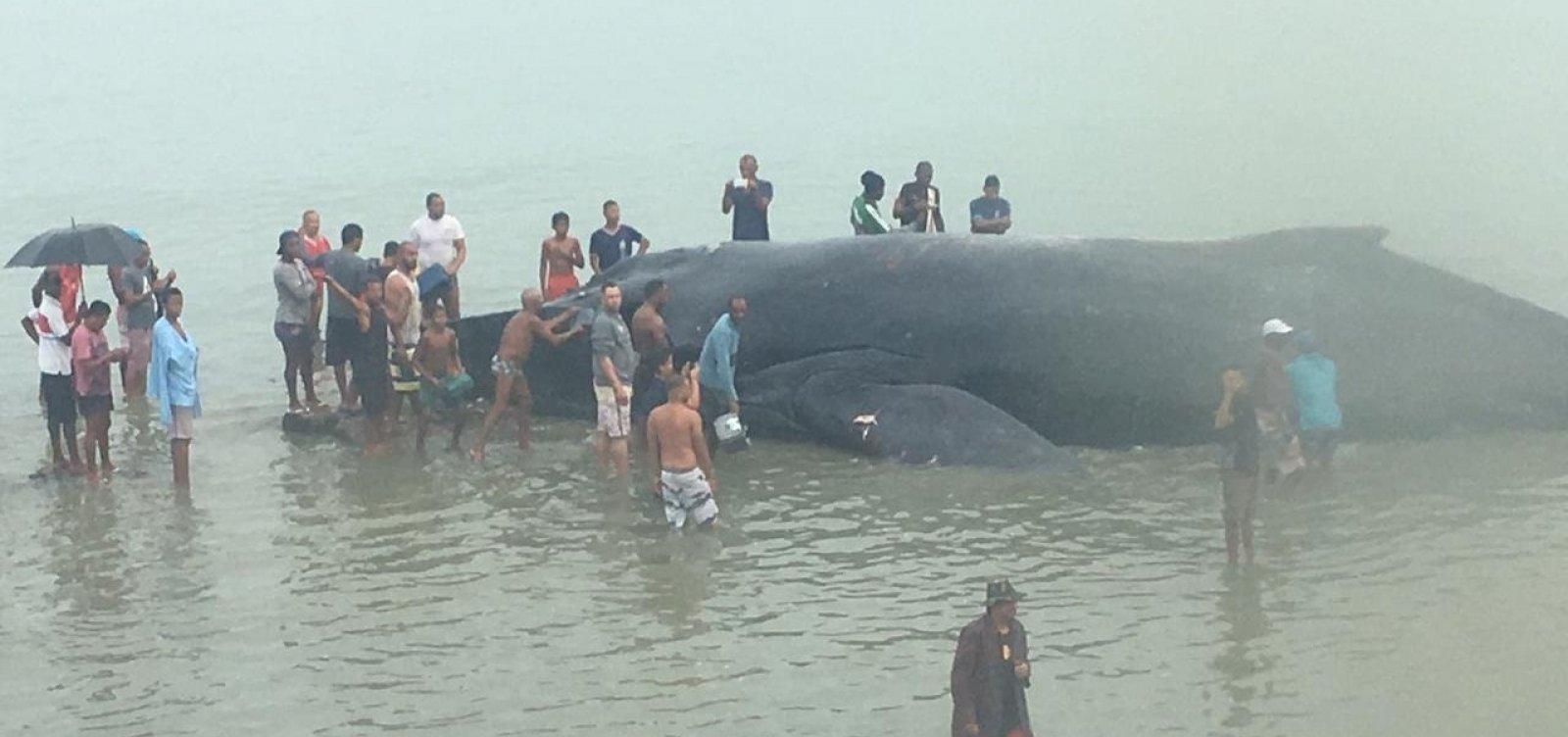 [Baleia jubarte encalha na praia de Coutos, em Salvador]