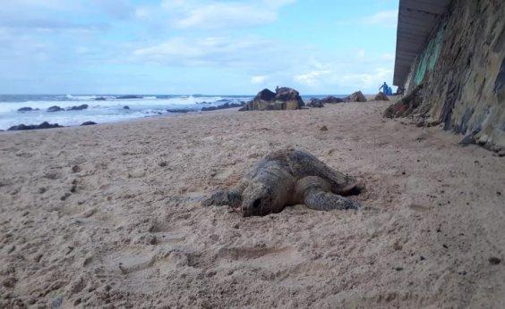 [Tartaruga é encontrada morta na praia de Ondina]