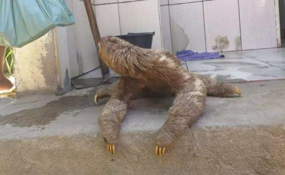 [Belmonte: moradores encontram bicho-preguiça em quintal de casa]