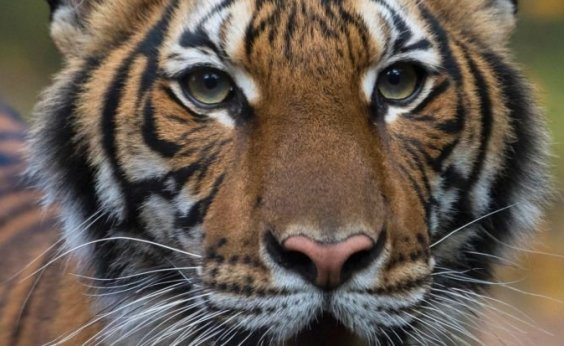 [Tigre testa positivo para coronavírus em zoológico de Nova York]